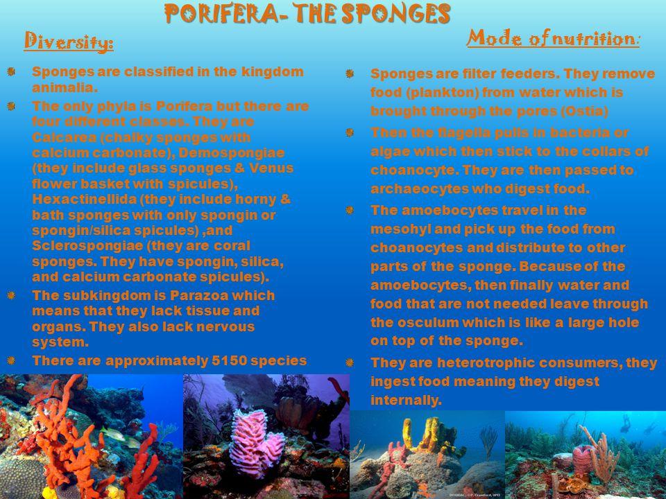 PORIFERA- THE SPONGES Diversity: Mode of nutrition: