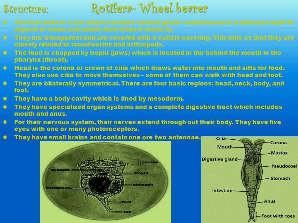 Rotifera- Wheel bearer