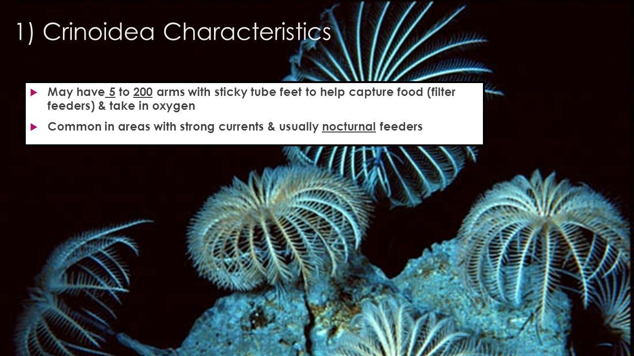 1) Crinoidea Characteristics