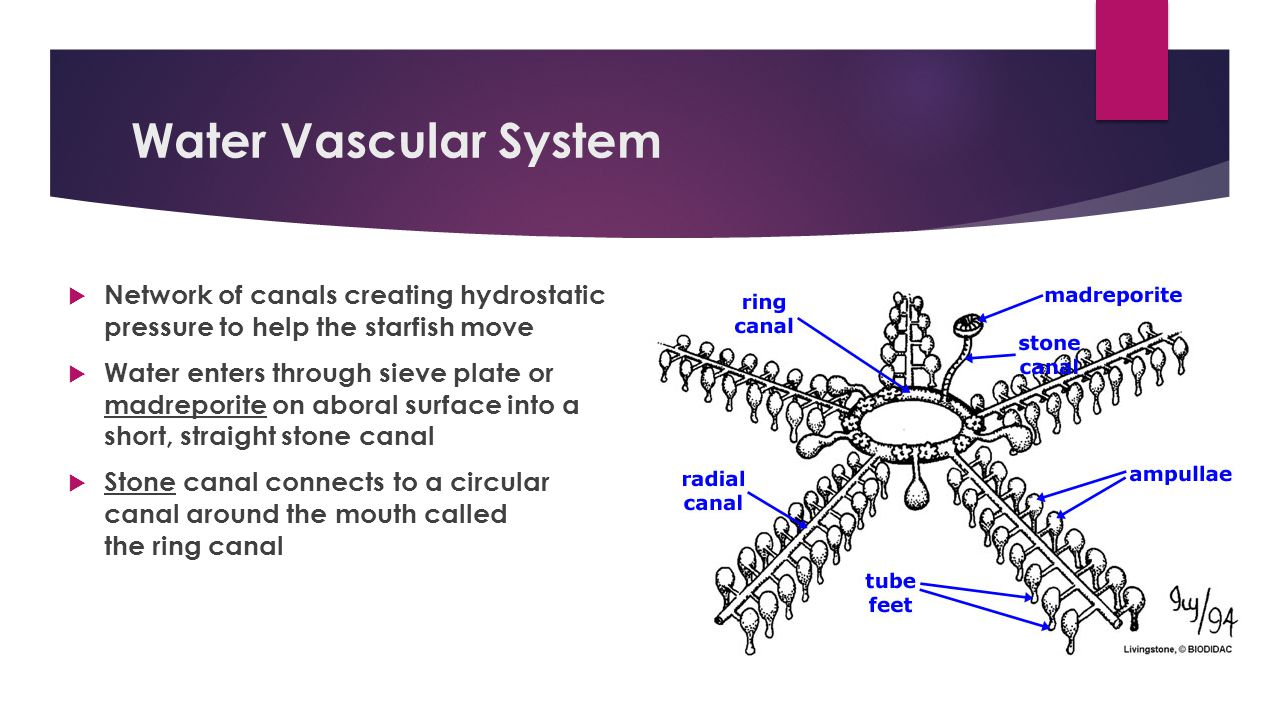 Water Vascular System Network of canals creating hydrostatic pressure to help the starfish move.