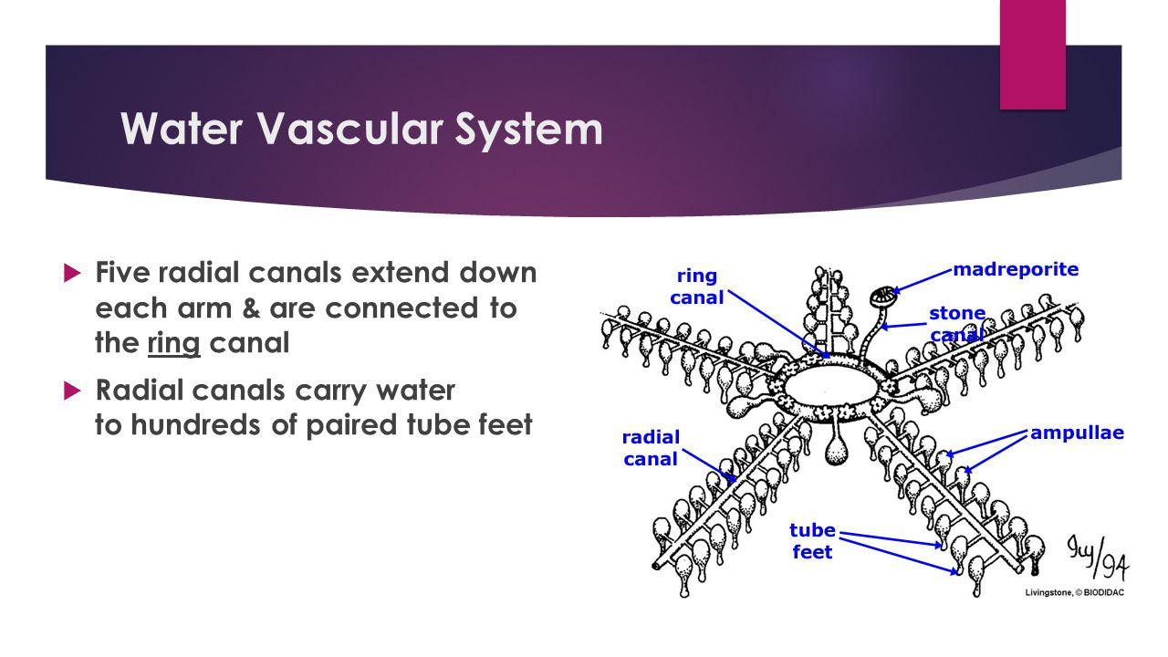 Water Vascular System Five radial canals extend down each arm & are connected to the ring canal.