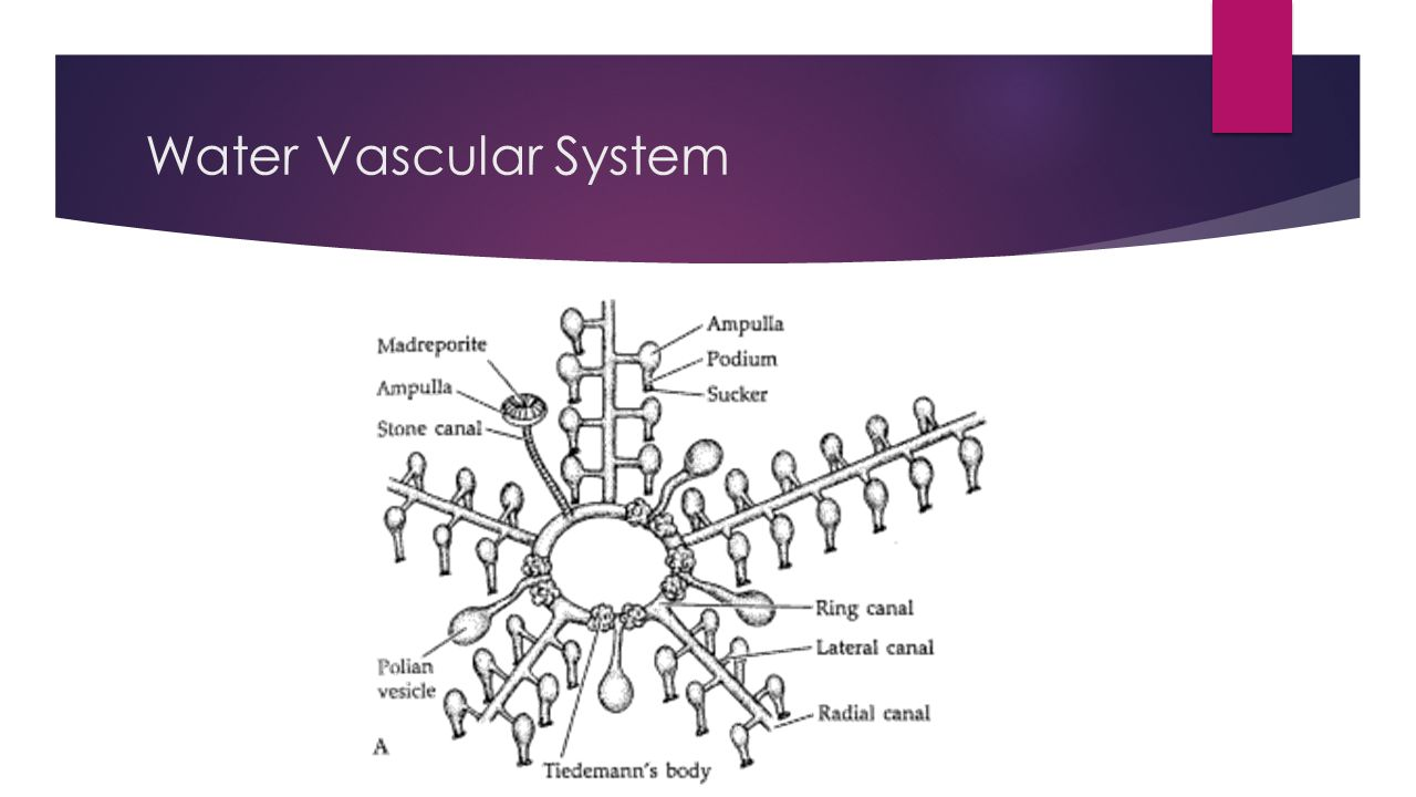 Water Vascular System