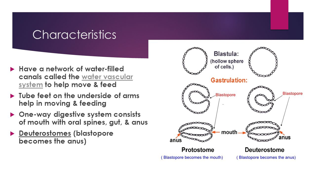 Characteristics Have a network of water-filled canals called the water vascular system to help move & feed.