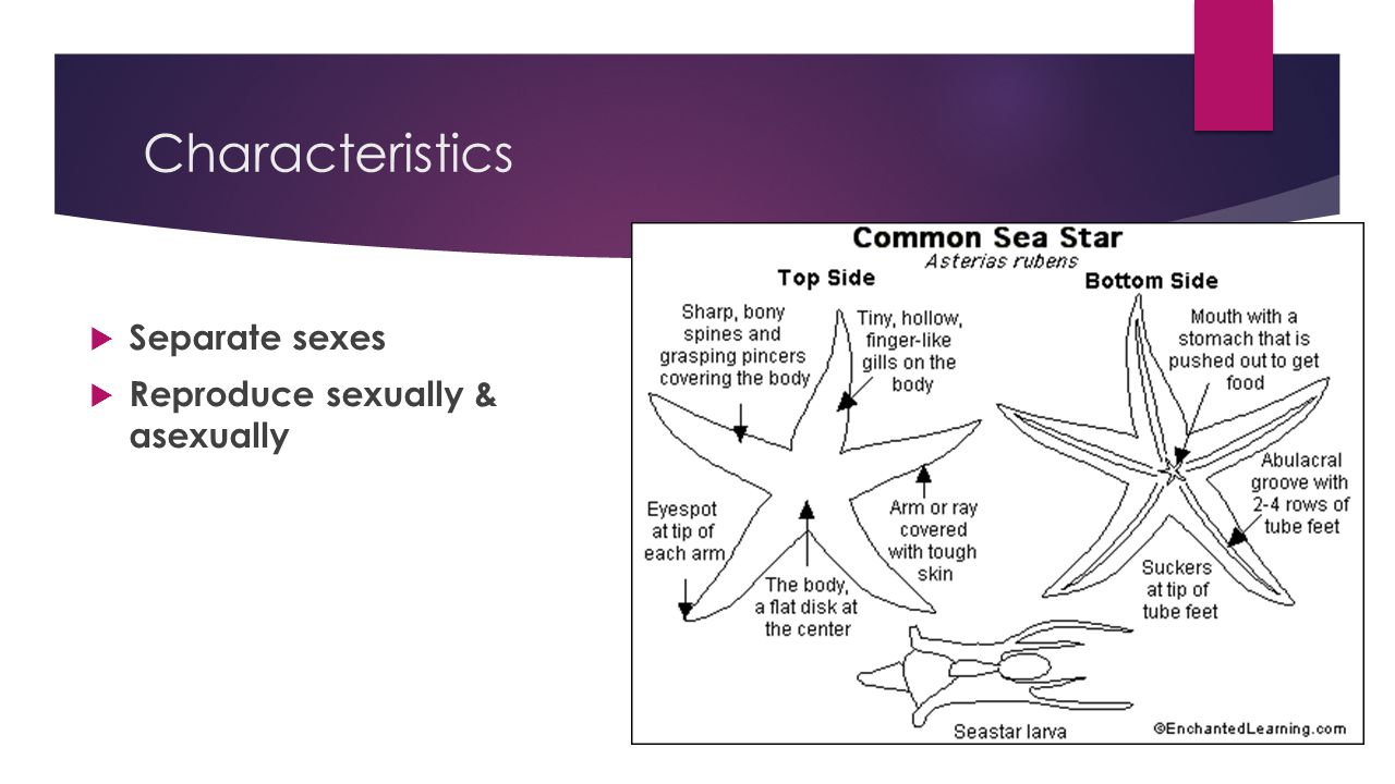 Characteristics Separate sexes Reproduce sexually & asexually