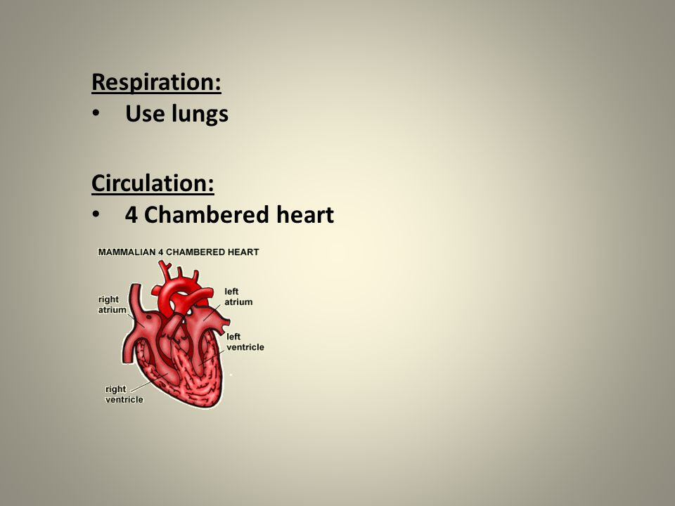 Respiration: Use lungs Circulation: 4 Chambered heart