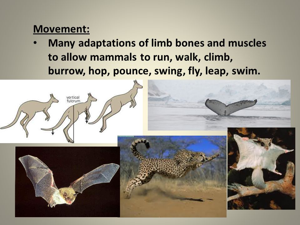 Movement: Many adaptations of limb bones and muscles to allow mammals to run, walk, climb, burrow, hop, pounce, swing, fly, leap, swim.