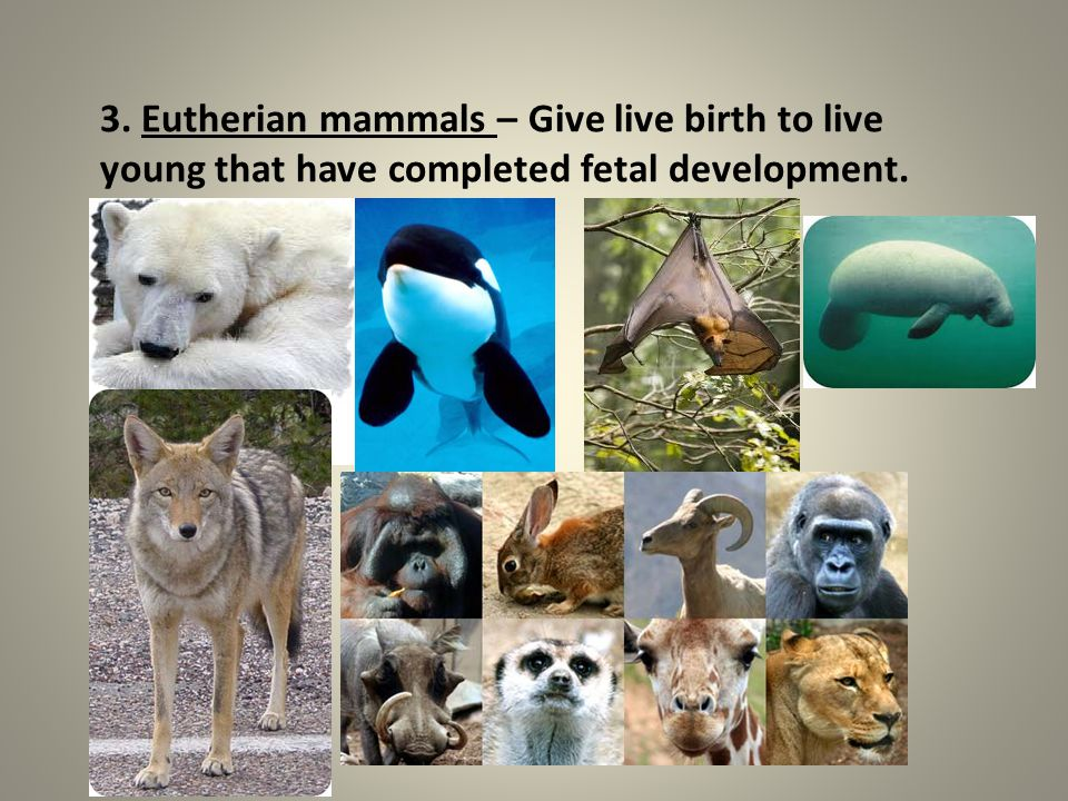 3. Eutherian mammals – Give live birth to live