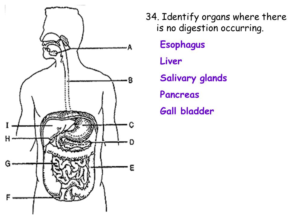34. Identify organs where there is no digestion occurring.