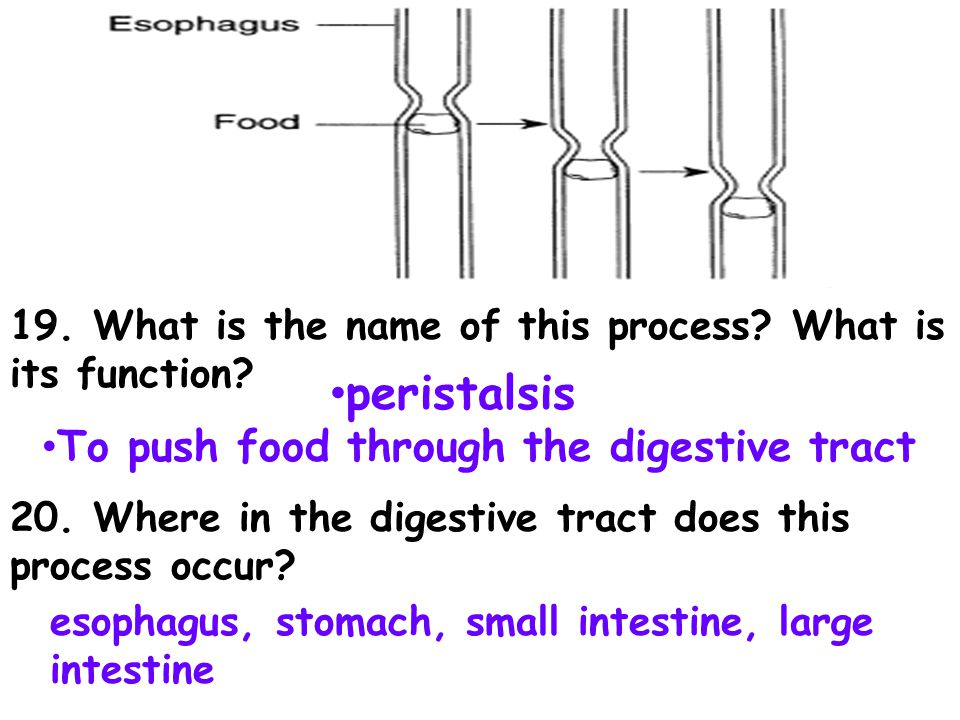 peristalsis To push food through the digestive tract