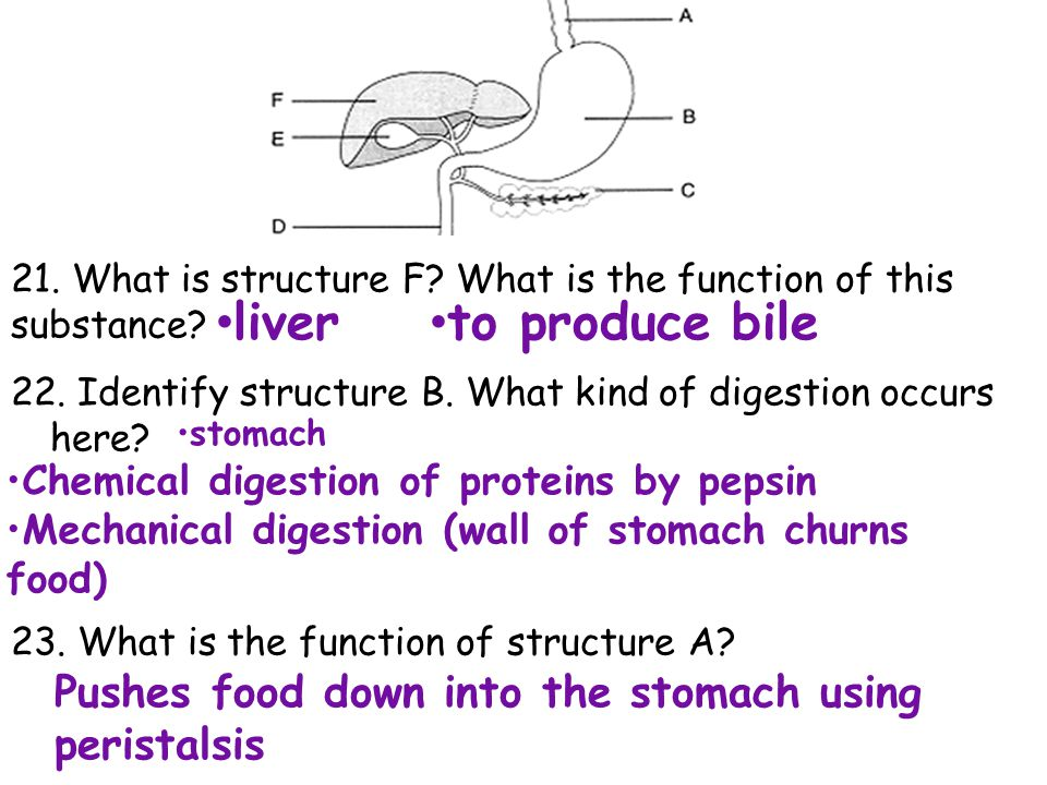 21. What is structure F What is the function of this substance