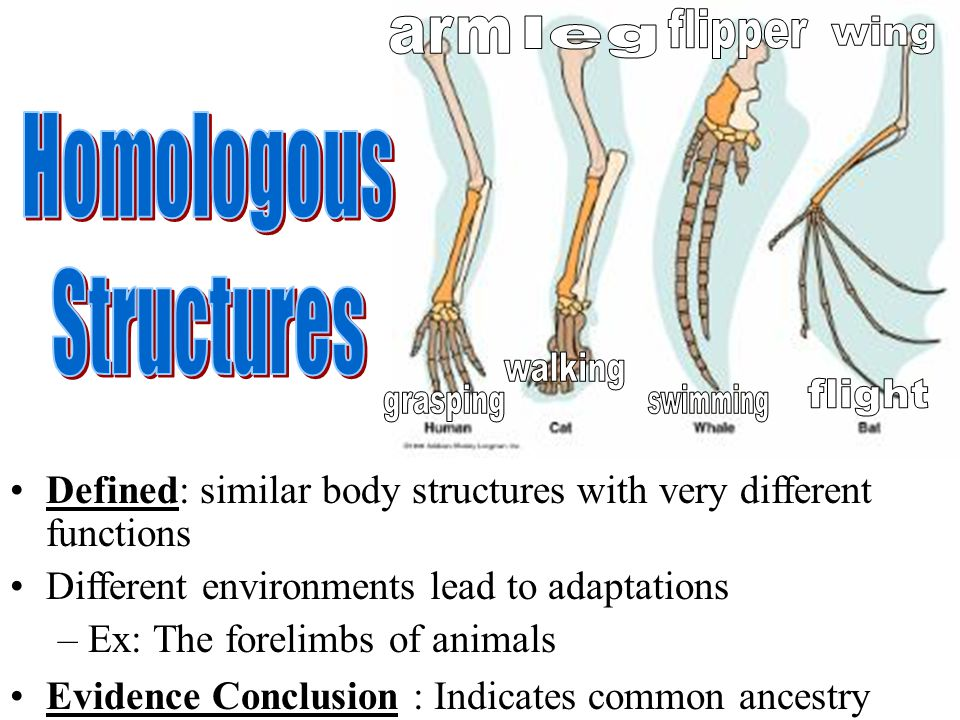 flipper arm leg wing Homologous Structures walking grasping swimming