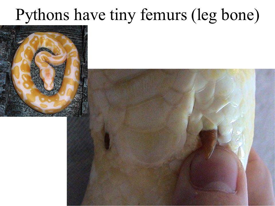 Pythons have tiny femurs (leg bone)