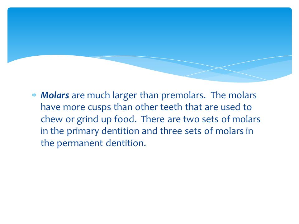 Molars are much larger than premolars