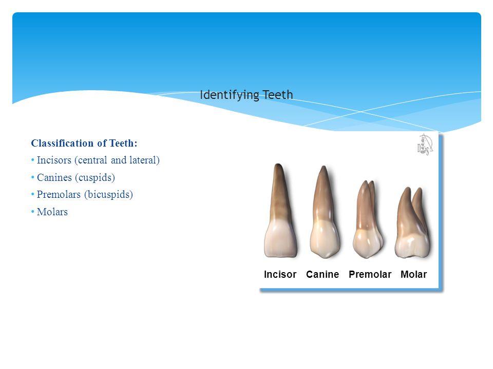Identifying Teeth Classification of Teeth: