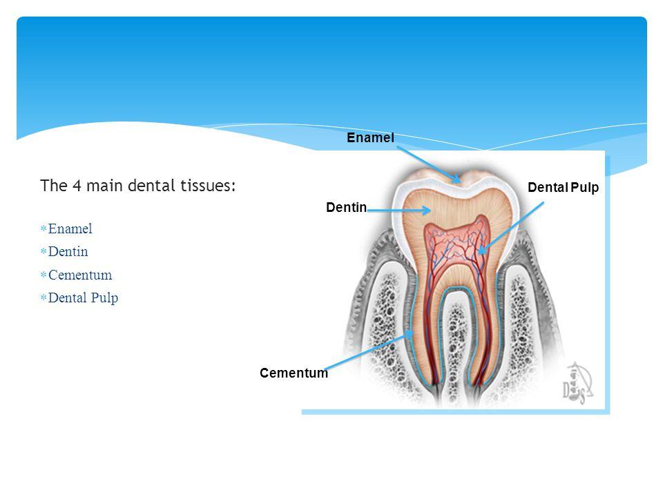 The 4 main dental tissues: