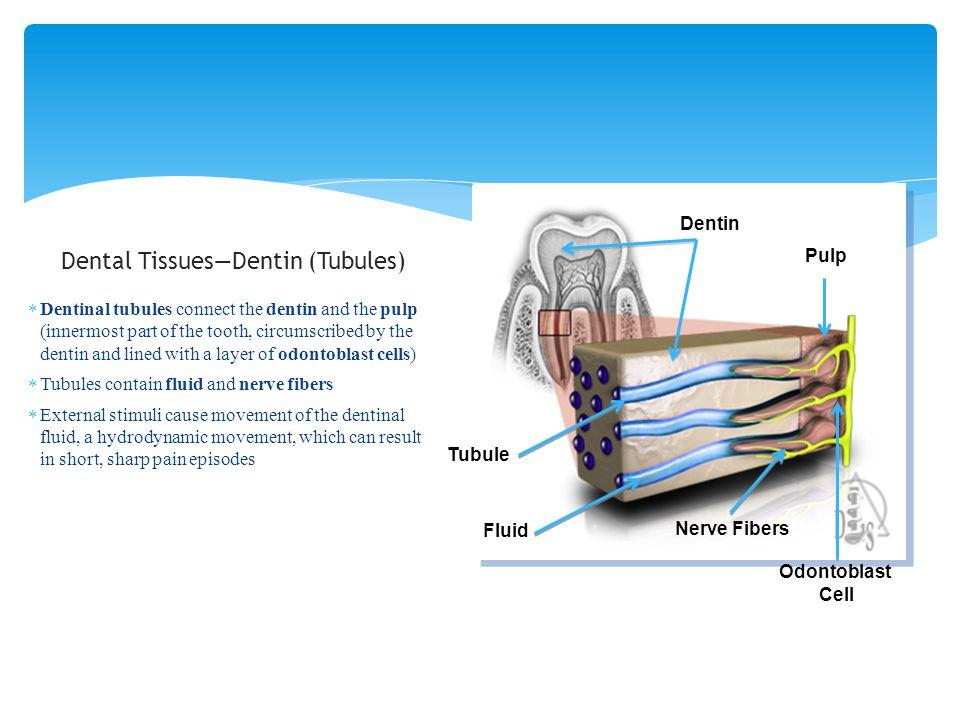 Dental Tissues—Dentin (Tubules)