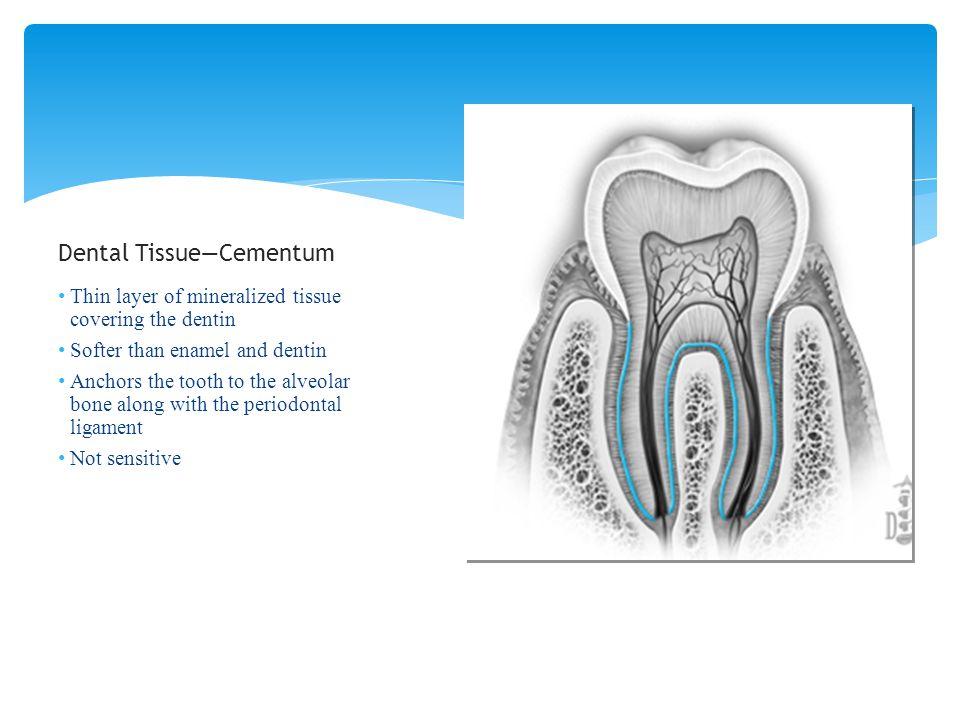 Dental Tissue—Cementum