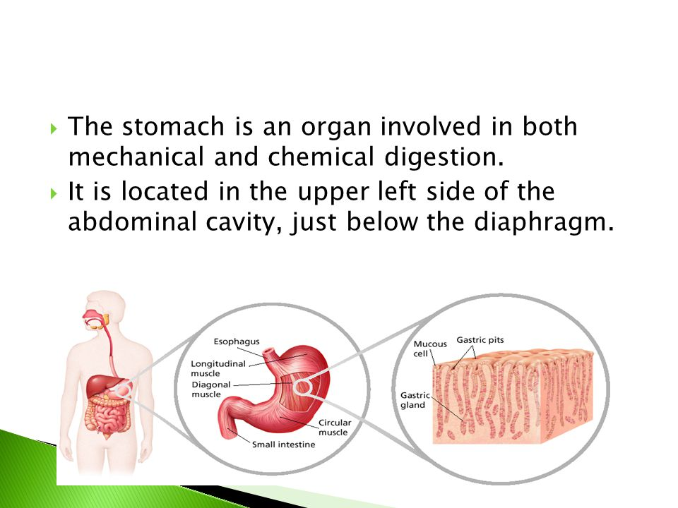 The stomach is an organ involved in both mechanical and chemical digestion.