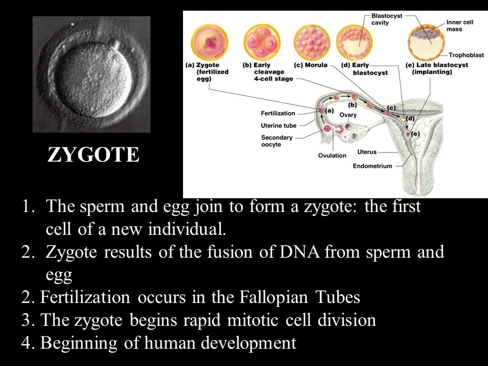 ZYGOTE The sperm and egg join to form a zygote: the first cell of a new individual. Zygote results of the fusion of DNA from sperm and egg.