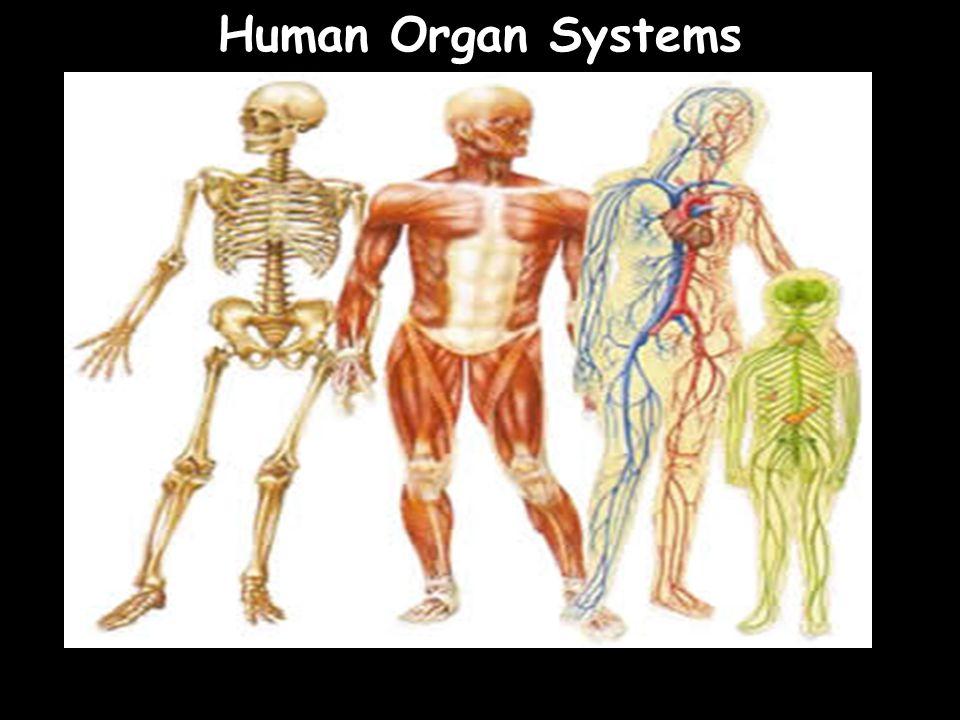 Human Organ Systems 48