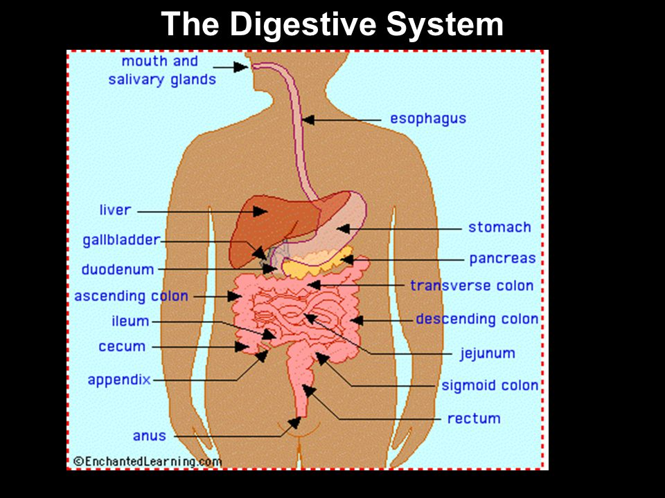 The Digestive System 54