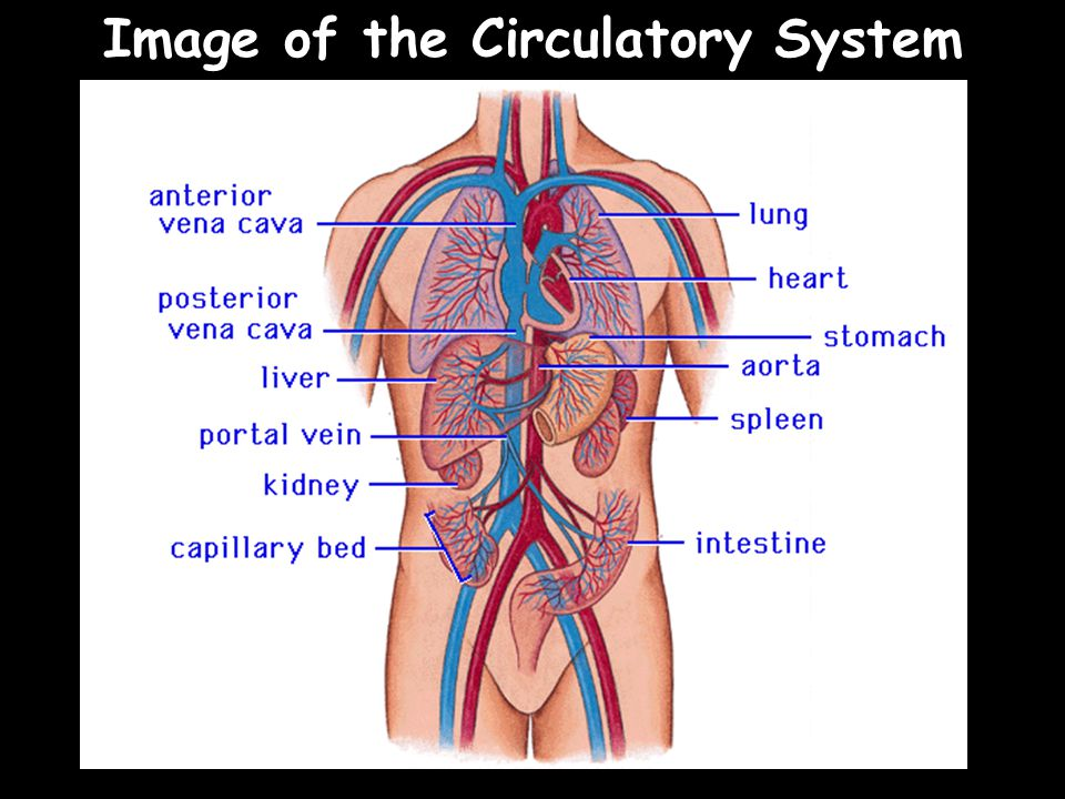 Image of the Circulatory System