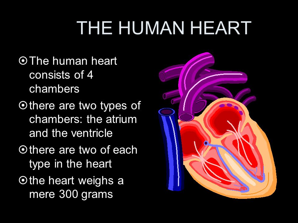 THE HUMAN HEART The human heart consists of 4 chambers
