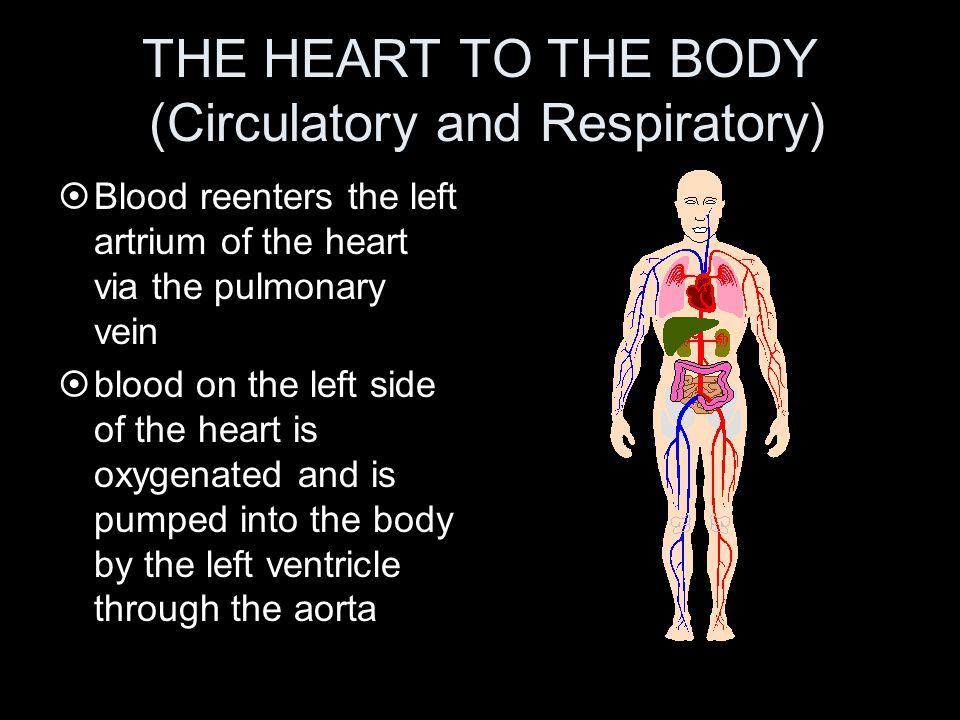 THE HEART TO THE BODY (Circulatory and Respiratory)