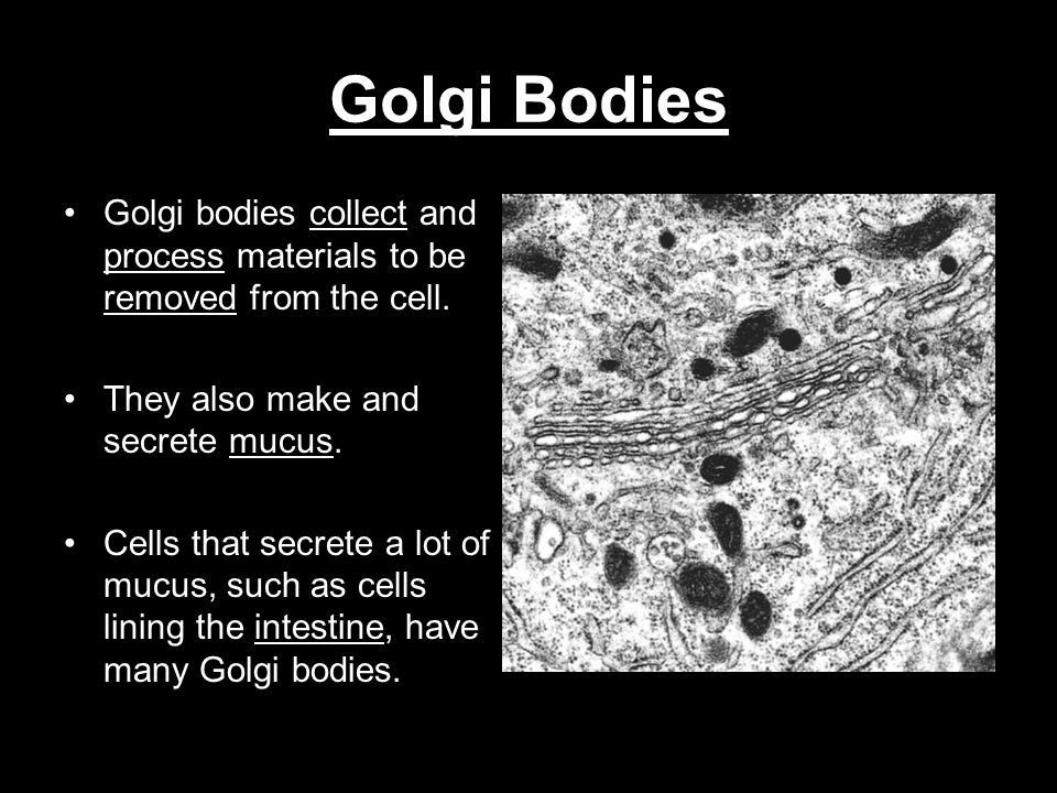 Golgi Bodies Golgi bodies collect and process materials to be removed from the cell. They also make and secrete mucus.