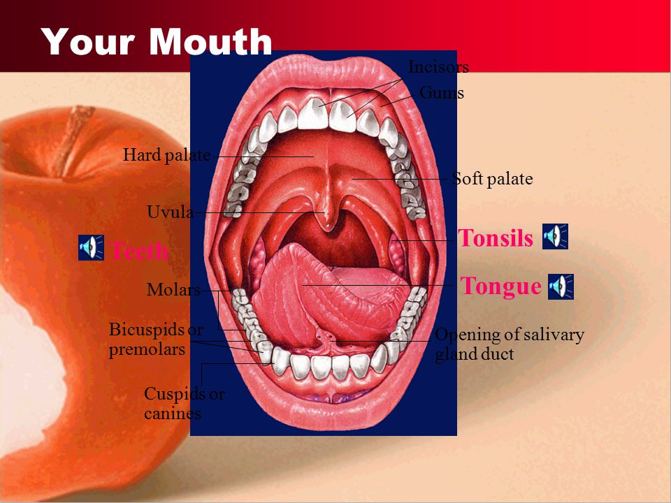 Your Mouth Tonsils Teeth Tongue Incisors Gums Hard palate Soft palate