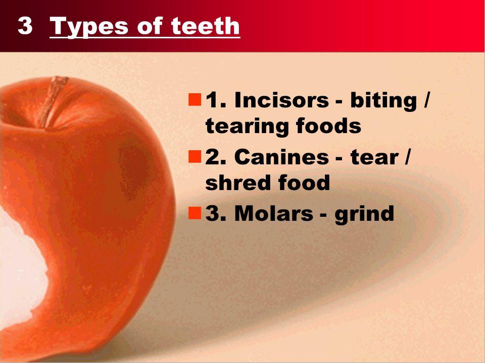 3 Types of teeth 1. Incisors - biting / tearing foods