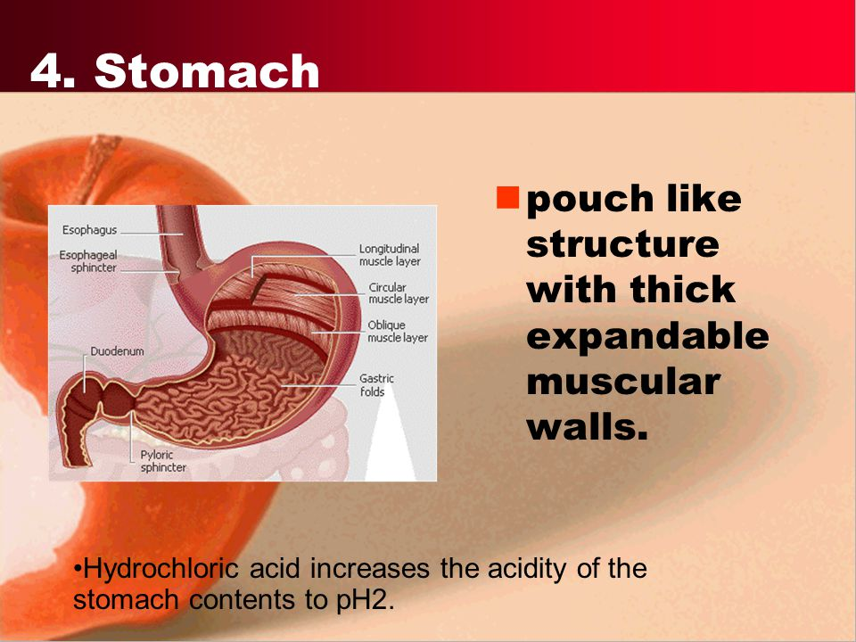 4. Stomach pouch like structure with thick expandable muscular walls.