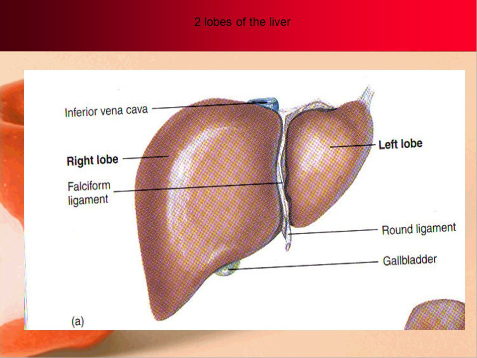 2 lobes of the liver