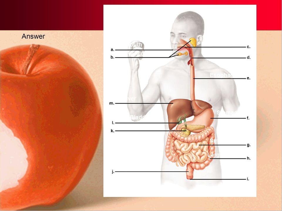 Answer Oral Cavity Mouth Salivary Glands Pharynx Esophagus Liver