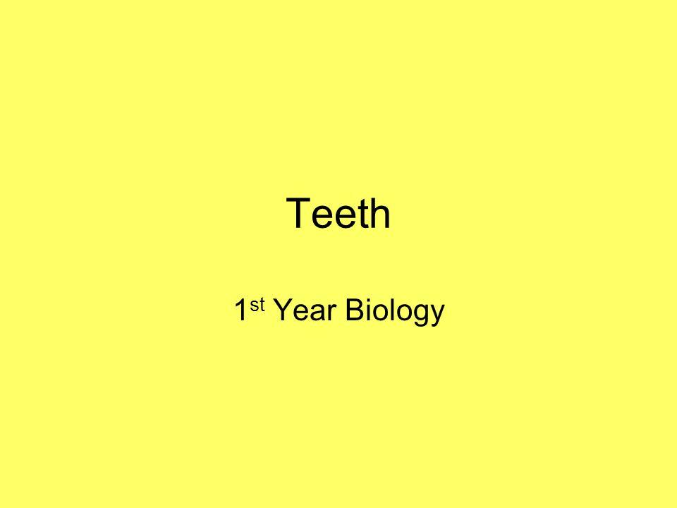 Teeth 1st Year Biology