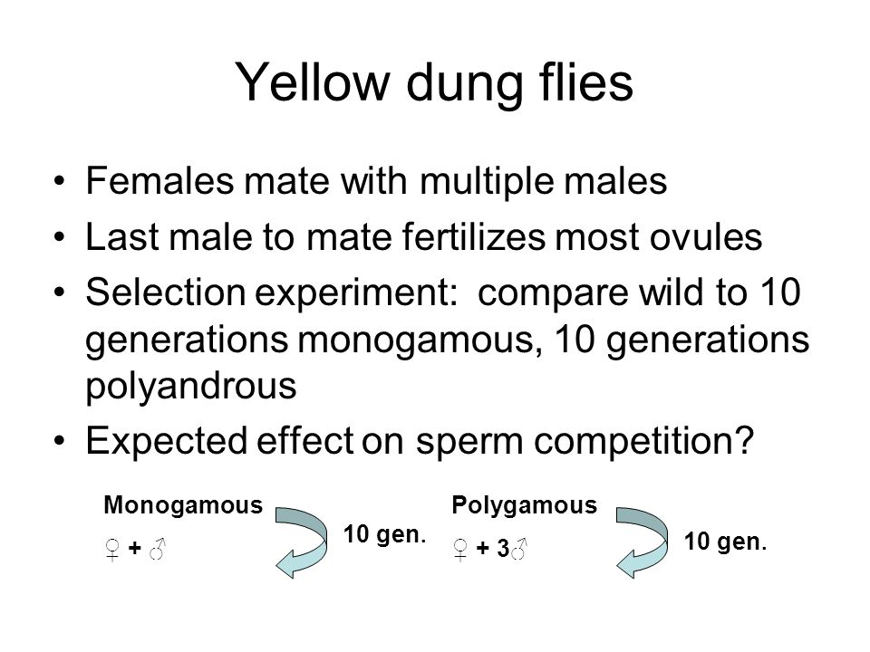 Yellow dung flies Females mate with multiple males