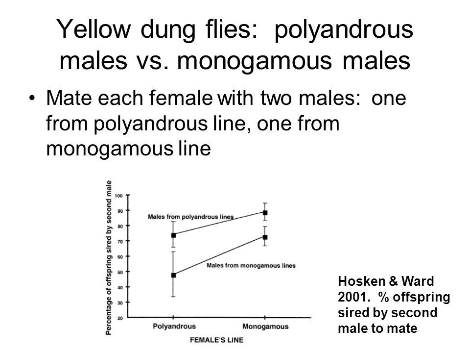 Yellow dung flies: polyandrous males vs. monogamous males