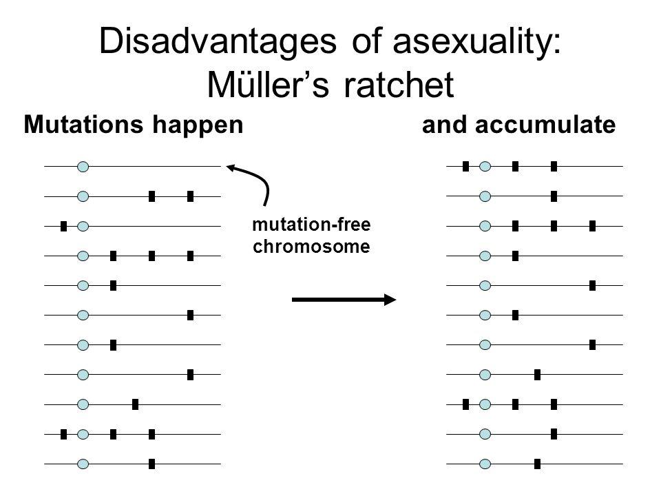 Disadvantages of asexuality: Müller's ratchet