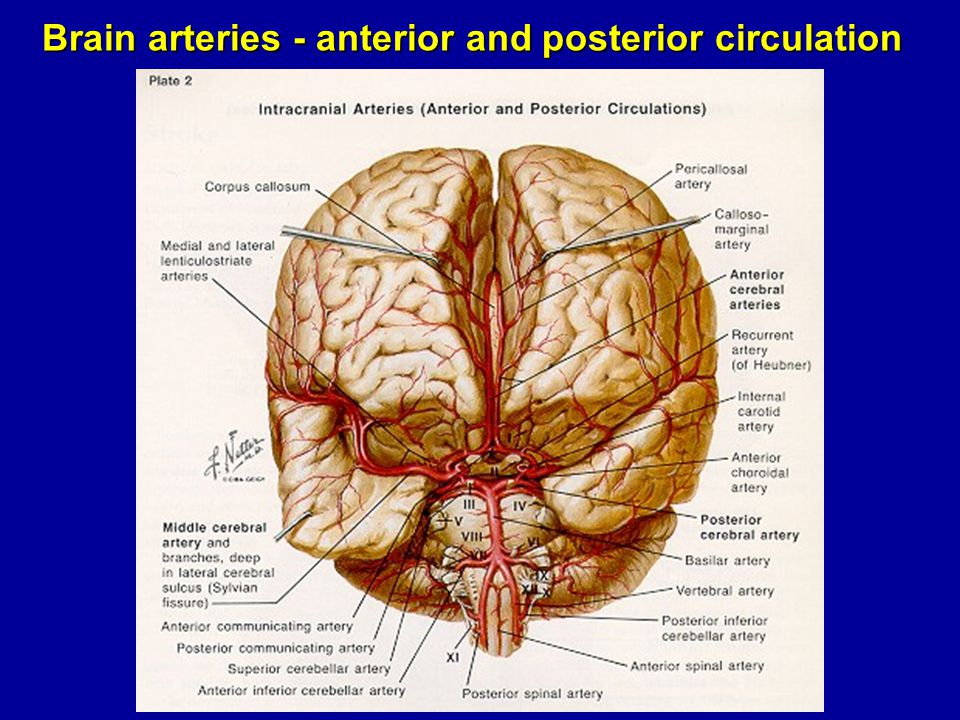 Brain arteries - anterior and posterior circulation