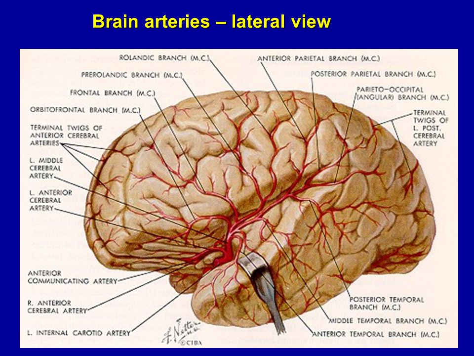 Brain arteries – lateral view