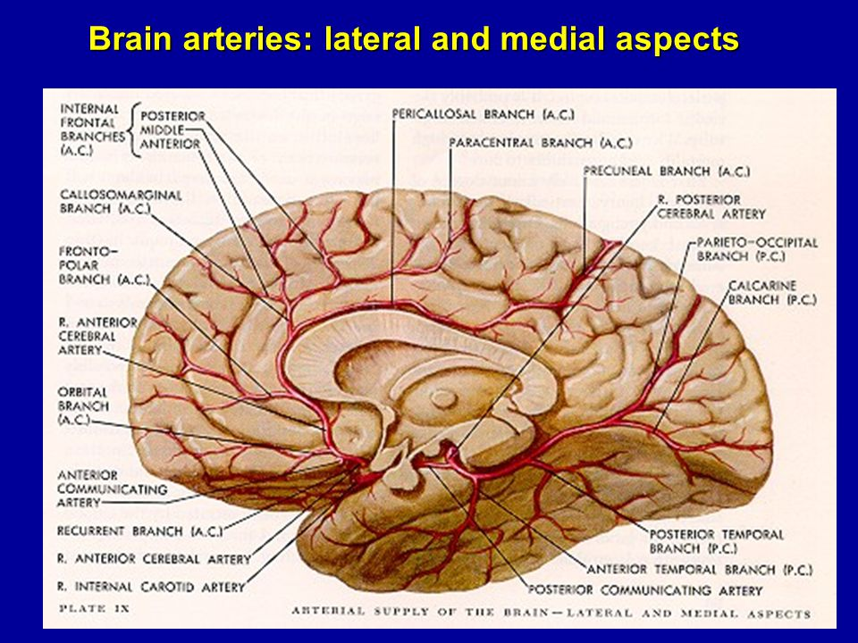 Brain arteries: lateral and medial aspects