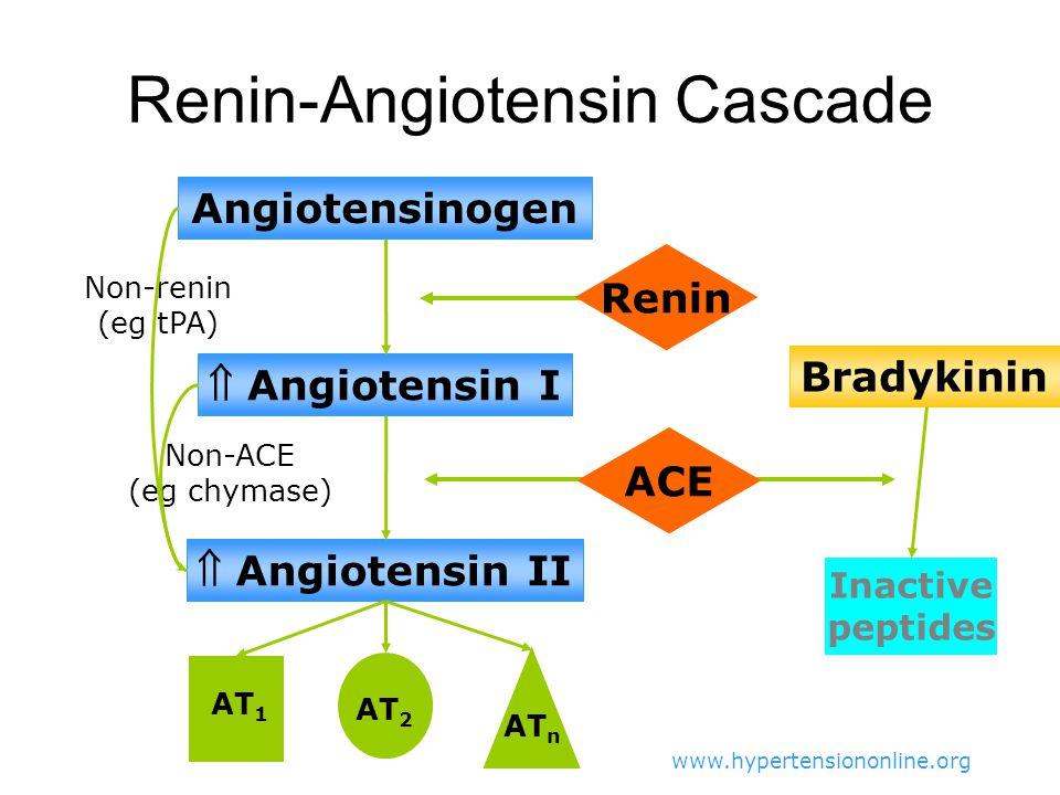 Renin-Angiotensin Cascade
