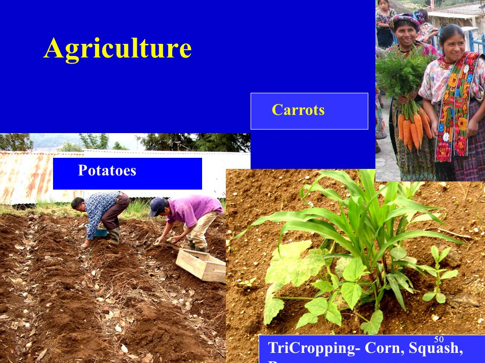 Agriculture Carrots Potatoes TriCropping- Corn, Squash, Bean