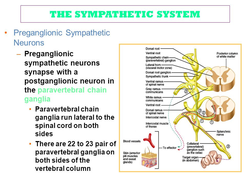 THE SYMPATHETIC SYSTEM