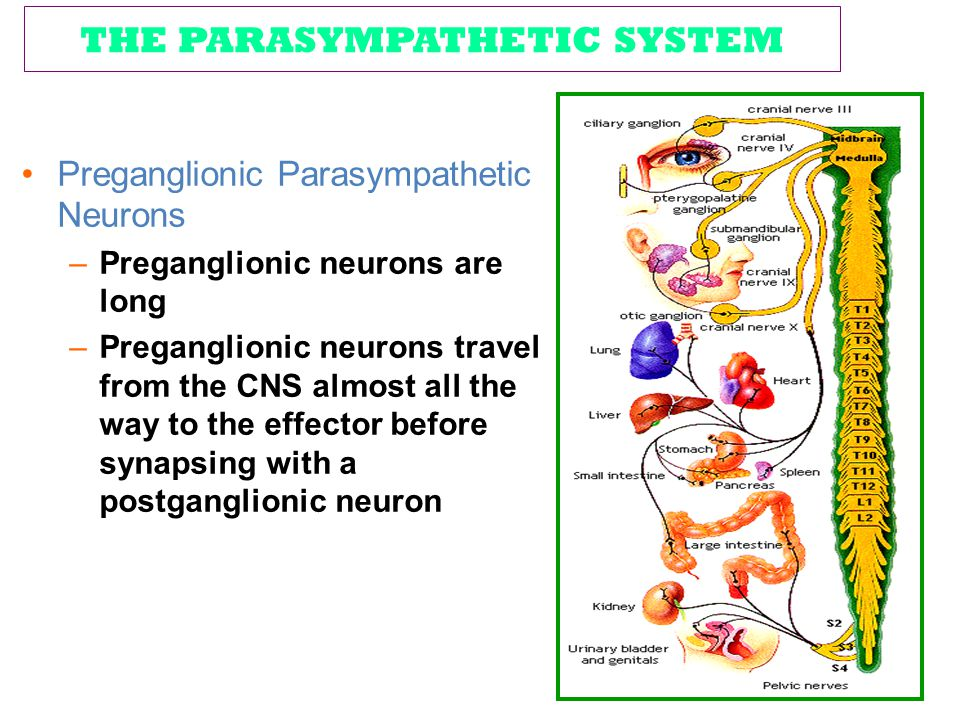 THE PARASYMPATHETIC SYSTEM