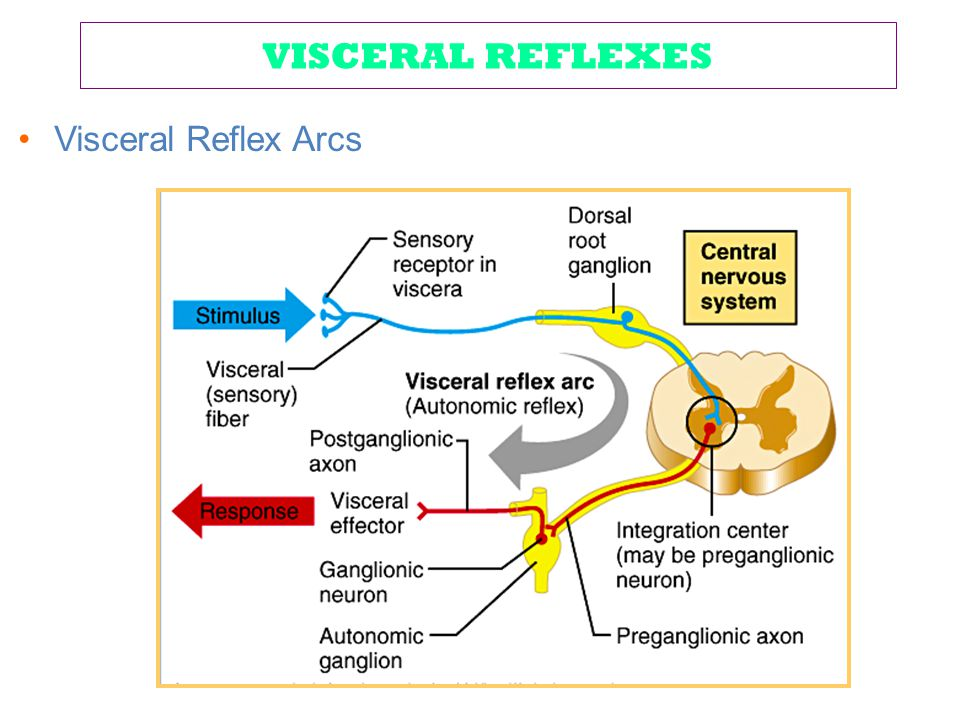 VISCERAL REFLEXES Visceral Reflex Arcs