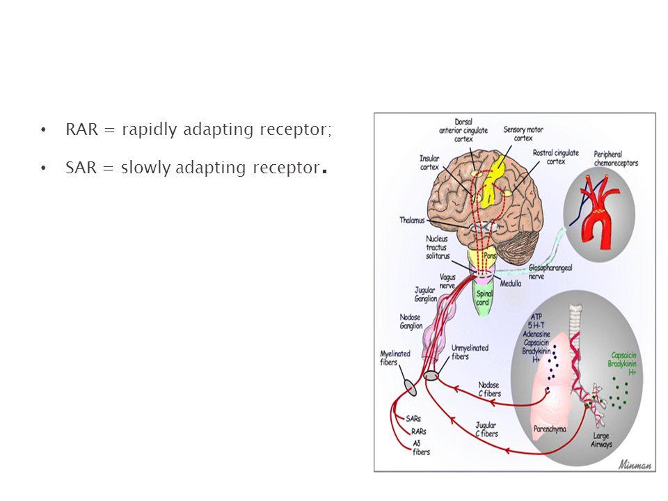 RAR = rapidly adapting receptor;