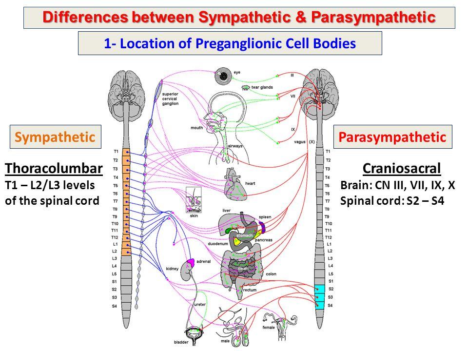 Differences between Sympathetic & Parasympathetic