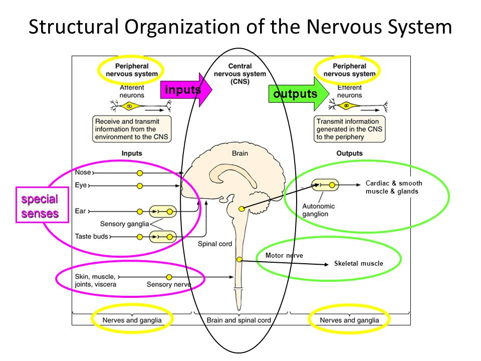 Structural Organization of the Nervous System