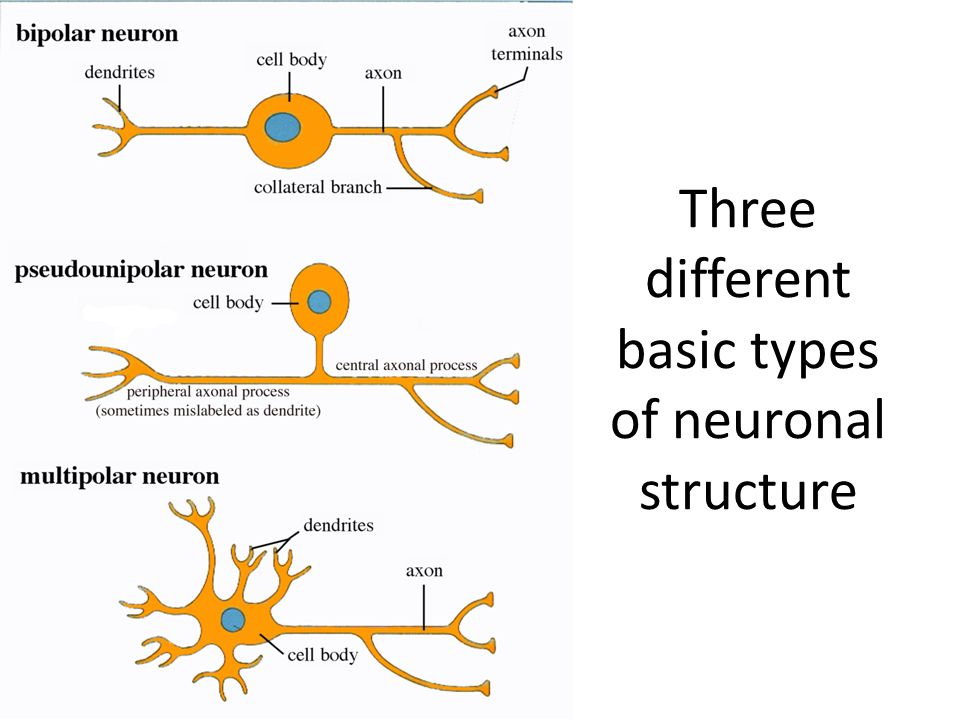 Three different basic types of neuronal structure